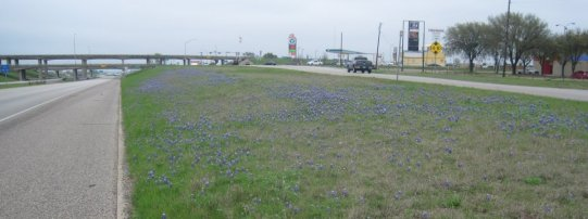 Roadside Blue Bonnets